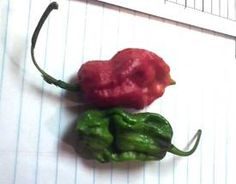 Trinidad Scorpion Seeds