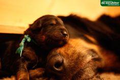 Mutter mit ihrem 5 Tage alten Welpen nach der Fütterung. Alter, Labrador Retriever, Dogs, Animals, Puppys, Pet Dogs, Labrador Retrievers, Animales, Animaux
