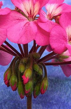 Flowers...Flowers...Flowers...Geranium