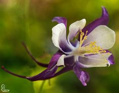 Aquilegia flower*Fine Art Photography*Canvas print*Home Decor*White purple yellow floral*Romantic gift idea* by SammyPhoto,