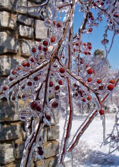 A couple of years ago an ice storm transformed the grounds of the Arboretum into a winter wonderland. The day after the storm, it was still very cold, but the sky was a brilliant blue--a perfect background for icy branches.