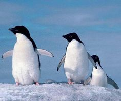 Spectral signature lets researchers ID seabirds by poop--by studying the color of seabird guano in the infrared part of the spectrum, researchers were able to identify and isolate penguin and seabird poo's unique spectral signature from bare rocks and snow. Applying this to satellite imagery, the team was able to identify all known major colonies of Adelié penguins, and colonies of several species of seabirds.