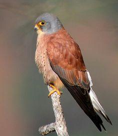 Cernícalo primilla(Falco naumanni. Es un ave de la familia Falconidae que se extiende por casi la totalidad de la Península Ibérica, sur de Francia, sur de Italia, los Balcanes y desde el mar Caspio y Anatolia por gran parte de Asia, también se encuentra en el norte de África desde Marruecos hasta Egipto. No se conocensubespecies.