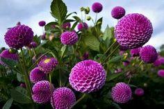 Purple Pompom Dahlias