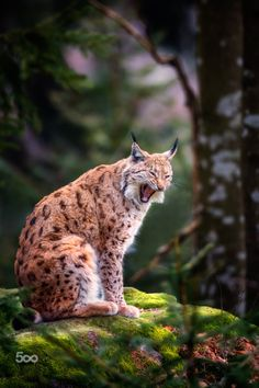 Life is tough… by Jean-FrancoisChaubard Lynx Beautiful Cats, Animals Beautiful, Cute Animals, Pumas, Lovely Creatures, Small Cat, Animals Of The World, Big Cats, Animal Photography