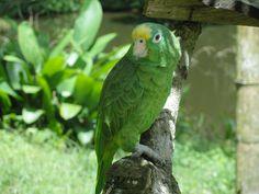 Parrot / Loro -  In Armenia, Colombia