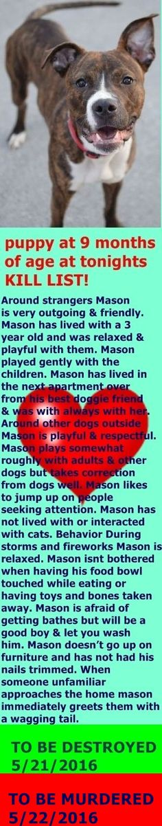 SAFE❤️❤️ 5/25/16 Brooklyn Center – P My name is MASON. My Animal ID # is A1073428. I am a male br brindle and white am pit bull ter mix. The shelter thinks I am about 9 MONTHS old. I came in the shelter as a OWNER SUR on 05/12/2016 from NY 11423, owner surrender reason stated was LLORDPRIVA. http://nycdogs.urgentpodr.org/2016/05/mason-a1073428/