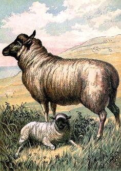 Animal - Range and Farm - Illustration - Sheep with lamb