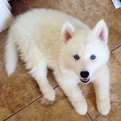 Sweet little dog, with his white fur, pink ears, and beautiful blue eyes.............