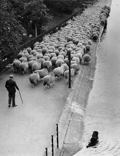 1920s London parks used sheep as natural lawnmowers