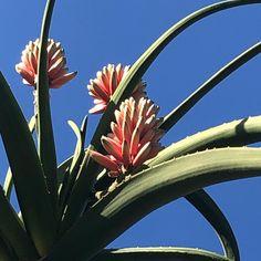 Aloe barbarae showing off at our nursery in December. #aloe_barbarae #SerraGardens_succulents #tree_aloe Blooming Succulents, Flowering Succulents, Landscaping Plants, Drought Tolerant, Aloe, December, Nursery, Landscape, Room Baby
