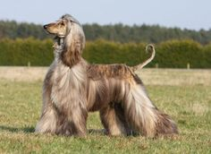 Afghan Hound ~ one of the long haired dogs I would make an exception for, too pretty and regal!