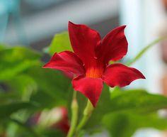 Red Mandevilla
