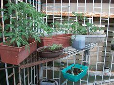 Como tener plantas en poco espacio, en macetas tomates, cebollino y mas!