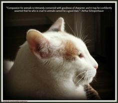 """""""Compassion for animals is intimately connected with goodness of character; and it may be confidently asserted that he who is cruel to animals cannot be a good man."""" ~Arthur Schopenhauer #compassion #quote #cat"""