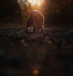 Morning encounter 365 days fox marathon Day 308 #365daysfoxmarathon #photography #wildlife
