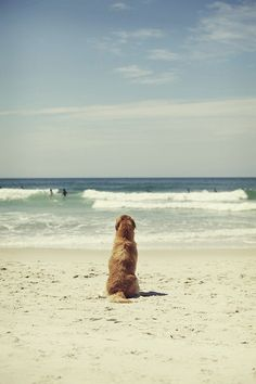 Golden Retriever on the beach, watching the world go by.