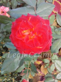 Rose 2018 Plants, Planting Flowers, Flowers, Plant Pictures, Rose, Plant Identification