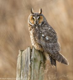 A long eared owl just before taking off in search of a meal