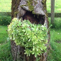 Hen & Chicks in a old tree!! Great idea for a tree stump.