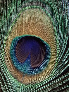 Peacock Feather Photographic Print at AllPosters.com