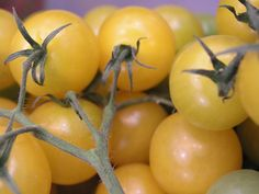 Tomatoes are propagated from seed, either by raising and transplanting seedlings or by direct seeding. Seedlings are raised in seedbeds and transplanted to the field. Transplanting is Tomato Plants, Planting, Period, Landscape, Plants, Scenery, Corner Landscaping, Tomatoes