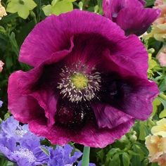 """Poppy Seeds - Laurens Grape Single, 4"""" blossoms in a mix of plum, purple, amethyst, violet and magenta!  Noteworthy to say the least!  Lauren's Grape Poppy is a hardy annual, producing up to 5 blooms per plant.  Once established, can tolerate sun, shade, cultivated or neglected conditions."""