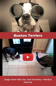The Boston Terrier breed originated in Boston and is one of the few breeds that are native to the U. Baby Boston Terriers, Boston Terrier Love, Terrier Breeds, Terrier Puppies, Puppy Facts, Puppies For Sale, Dog Bowls, Pugs, Funny Memes