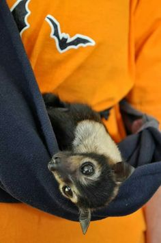 Tolga bat hospital. Spectacled flying fox baby.