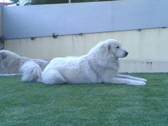 phoca_thumb_l_dmafalda Down From The Mountain, Top Dog Breeds, Great Pyrenees Dog, White Dogs, Dog Show, Mountain Dogs, Working Dogs, Best Dogs, Old Things