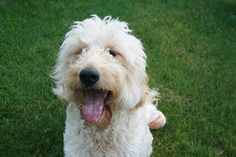 "Lola is an adoptable Golden Retriever Dog in Des Moines, IA.   I am ""Lola""  a very sweet and a little goofy Golden Doodle who needs someone to love me, walk me and oh yes, buy me squeaky toys.  I love..."