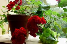 My Gramma taught me and my mom how to save geraniums from year to year. When a hard frost threatens, or after the first very light frost (which geraniums usually tolerate just fine), pull each plant. Geranium Plant, Tiny Balcony, Red Geraniums, Window Sill, Plant Care, Agriculture, Perennials, Frost, Home And Garden