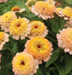 Hidden Dragon Zinnia Seeds | 50, Parks and 10.