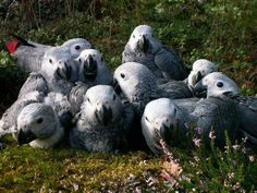 Baby African grey parrots. Look at those big eyes!