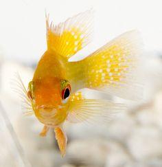 L'Apistogramma di Ramirez è il più allevato dei ciclidi nani, in particolare la varietà Oro, chiamata anche ciclide gioiello. #fish #fishtank