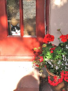 geraniums and booger kitty