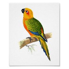Orange and green Parrot No.2 Tropical Antique Ornithology Print. $14.60 on Zazzle