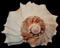 Busycon contrarium Conrad, 1840 - 240 mm, USA, Florida