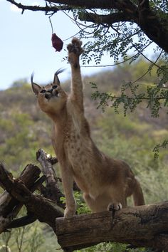 Karakal 2 by Jutta Kirchner / Nature Animals, Animals And Pets, Cute Animals, Lynx, Big Cats, Cats And Kittens, Caracal Cat, Gato Grande, All About Cats