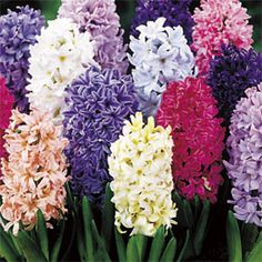 Absolutely must have hyacinth in my garden! My favorite smelling flower.