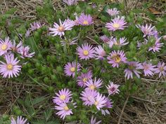 Symphyotrichum pratense Grasses, Native Plants, Garden Inspiration, Tennessee, Planting Flowers, The Outsiders, College, Park, Gardens