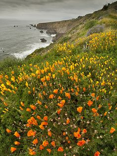 California Poppies - Westport, California