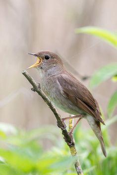 Luscinia luscinia - słowik szary - Thrush Nightingale