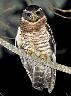 Band-bellied Owl Pulsatrix melanota - Google Search