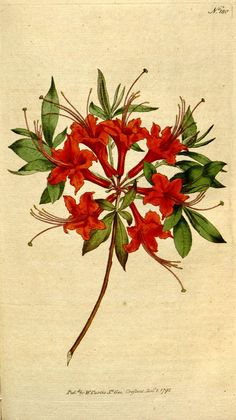 "From ""The Botanical magazine, or, Flower-garden displayed ..."" by William Curtis - 1792~1793"