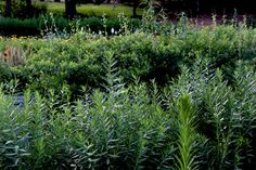 Amsonia (foreground) and Baptisia foliage