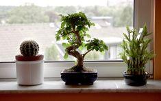 lucky-bamboo-bonsai-succulent-windowsill-glass-eyes-view-flickr