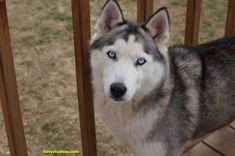 grey and white Siberian husky