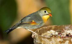 Ruiseñor Del Japon http://www.mascotadomestica.com/especies-de-aves/ruisenor-del-japon.html