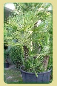 Palmeiras de pequeno porte Mede até 2 m de altura com folhas pinadas, ideal para compor vasos e jardins de interior. Nome científico: Chamaedorea alegans Nome comum: Camedórea Origem: México